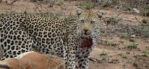 Amazing Kruger Leopard sighting