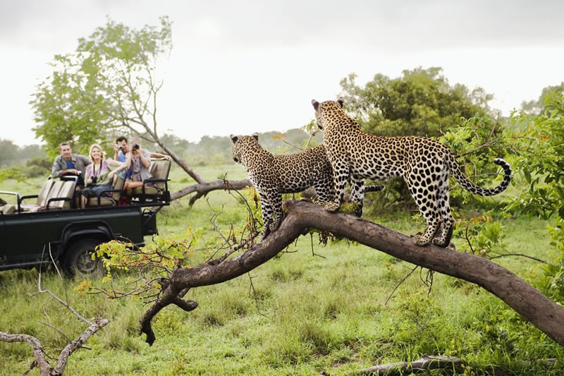 Kruger National Park Leopards